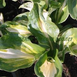 Hosta, Funkia - сорт H.undulata Mediovariegata (Хоста), Liliaceae