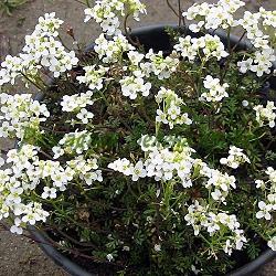 Hutchinsia alpina, Pritzelago alpina_Хутчинсия, Алпийска лира_Crystal Carpet_Cruciferae