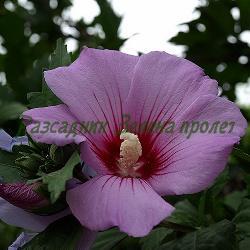 Hibiscus syriacus_Дървовидна ружа__Malvaceae