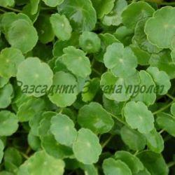 Hydrocotyle vulgaris_Хидрокотиле__Araliaceae