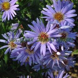 Aster dumosus - сорт Wood's Blue (Звездел, Астра храстовидна), Compositae, Asteraceae