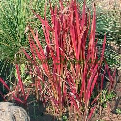 Imperata cylindrica_Императа_Red Baron_Poaceae
