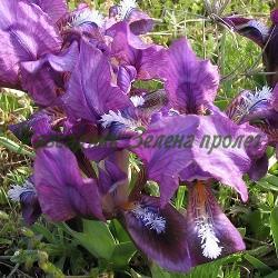 Iris pumila_Ирис малък, Перуника__Iridaceae
