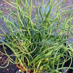 Juncus effusus _Юнкус, Спираловидна дзука_Spiralis_Juncaceae