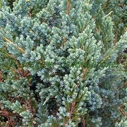 Juniperus squamata - сорт Meyeri (Хвойна), Cupressaceae