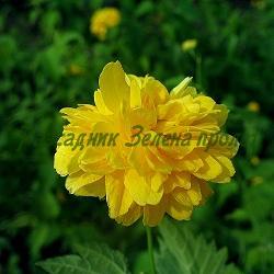 Kerria japonica_Керия_'Pleniflora'_Rosaceae