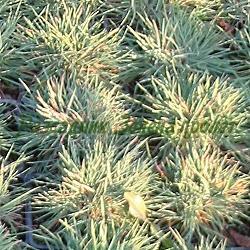 Koeleria glauca_Тънкорог, Келерия__Poaceae