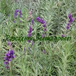 Lavandula angustifolia - сорт Hidcote - тъмнолилава лавандула (Лавандула), Labiatae
