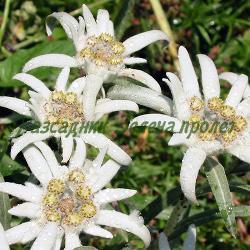 Leontopodium alpinum_Еделвайс__Compositae