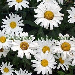 Chrysanthemum leucanthemum, Leucanthemum vulgare_Маргарита бяла__Compositae, Asteraceae
