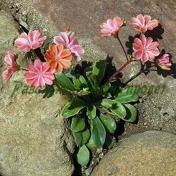 Lewisia cotyledon_Левизия, Люизия__Portulacaceae