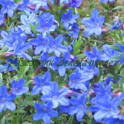 Lithodora diffusa (Lithospermum diffusum)_Литодора, литоспермум, птиче просо_COMPACT BLUE_Boraginaceae