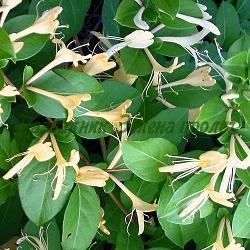 Lonicera japonica_Лоницера, Орлови нокти__Caprifoliaceae