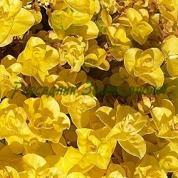 Lysimachia nummularia_Лизимахия, Монетовидно ленивче_Aurea_Primulaceae