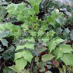 Mahonia japonica 'Bealei' , syn. Mahonia bealei, Berberis bealei_Японска махония, махония беалии__Berberidaceae