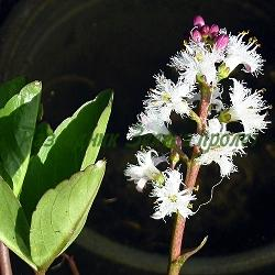 Menyanthes trifoliata_Мениантес, Водна детелина, Богородична лъжичка__Menyanthaceae