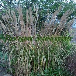 Miscanthus sinensis - сортове (Мискантус, Китайски камъш, Царска тръстика) - сем. Poaceae