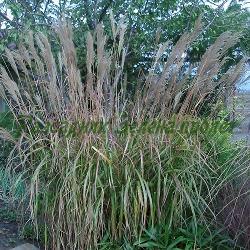Miscanthus sinensis - сорт Oсновен вид (Мискантус, Китайски камъш, Царска тръстика), Poaceae