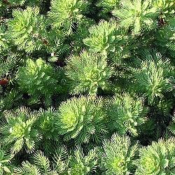 Myriophyllum hippuroides_многолистник,  мириофилум__Haloragaceae
