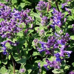 Nepeta mussini_Непета, Котешка мента, Коча билка__Labiatae , Lamiaceae