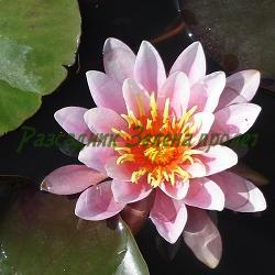 Nymphaea hybrida_Водна лилия, Водна роза__Nymphaeceae