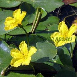 Nymphoides peltata (Villarsia nymphaeoides)_Нимфоидес, Виларзия, Какички__Menyanthaceae