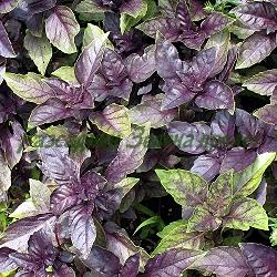 Ocimum species  - сорт Pururascens (Червен босилек) (Босилек), Lamiaceae
