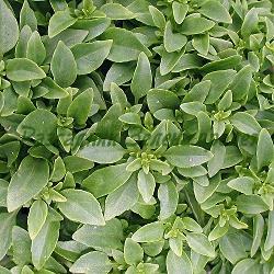 Ocimum species - видове и сортове (Босилек) - сем. Lamiaceae