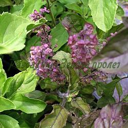 Ocimum species - сорт Ocimum tenuiflorum (Свещен босилек, тулси) (Босилек), Lamiaceae