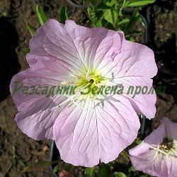 Oenothera speciosa_Розова йонотера, Розова вечерна иглика__Onagraceae