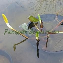 Orontium acuaticum_Оронтиум__Araceae