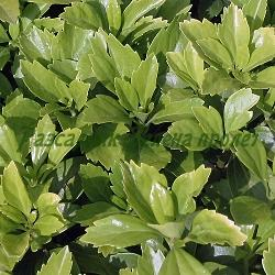 Pachysandra terminalis_Пахизандра__Buxaceae