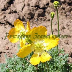 Papaver alpinum_Алпийски мак__Papaveraceae