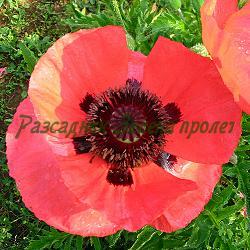 Papaver orientale hybridum_Мак многогодишен_Pizzicato - MIX_Papaveraceae