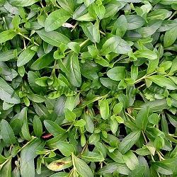 Parahebe Kenty Pink_Парахебе, Пълзяща вероника_Kenty Pink_Scrophulariaceae