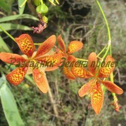 Pardancanda X norrisii - сортове (Парданканда, Бонбонена лилия) - сем. Iridaceae