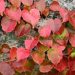 Parthenocissus tricuspidata_Партеноцисус, Дива лоза__Vitaceae
