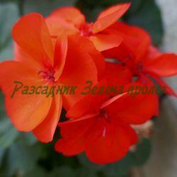 Pelargonium sp. - видове и сортове (Пеларгонии (мушката, сакъзчета, индришета)) - сем. Geraniaceae