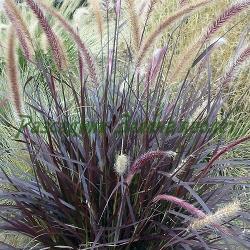 Pennisetum setaceum_Червен пенизетум_Rubrum_Poaceae