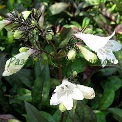 Penstemon digitalis  - сорт Husker Red (Пенстемон напръстников), Plantaginaceae