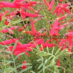 Penstemon pinifolius - сортове (Пенстемон бороволистен) - сем. Plantaginaceae