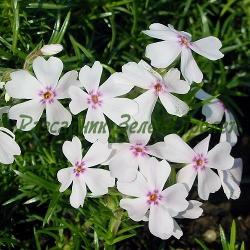 Phlox subulata - сорт Phlox subulata 'AMAZING GRACE' (Флокс стелещ), Polemoniaceae