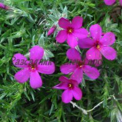 Phlox douglasii - сортове (Стелещ флокс) - сем. Polemoniaceae