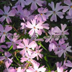 Phlox subulata - сорт Phlox subulata 'EMERALD BLUE' (Флокс стелещ), Polemoniaceae