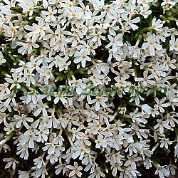 Phlox covillei_Флокс малък__Polemoniaceae