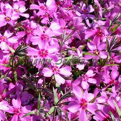 Phlox subulata - сорт Phlox subulata 'EMERALD PINK' (Флокс стелещ), Polemoniaceae