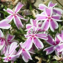 Phlox subulata - сорт Phlox subulata 'CANDY STRIPE' (Флокс стелещ), Polemoniaceae