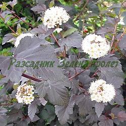 Physocarpus opulifolius_Физокарпус ТЪМНОЧЕРВЕН, Физокарпус ЖЪЛТ_ATROPURPUREA; AUREA_Rosaceae