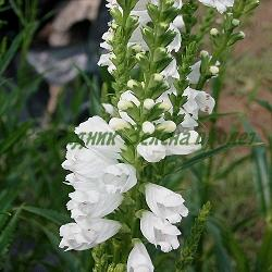 Physostegia virginiana - сортове (Физостегия) - сем. Labiatae , Lamiaceae