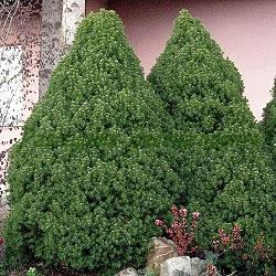 Picea glauca_Коничен смърч, Смърч джудже_Conica_Pinaceae